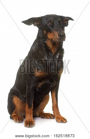 adult beauceron in front of white background