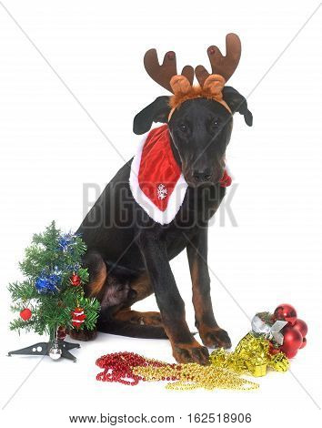 young beauceron and christmas in front of white background