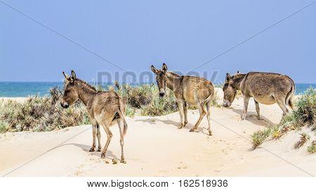 Mannar donkey in Kalpitiya, Sri Lanka ; specie Equus asinus family of equidae