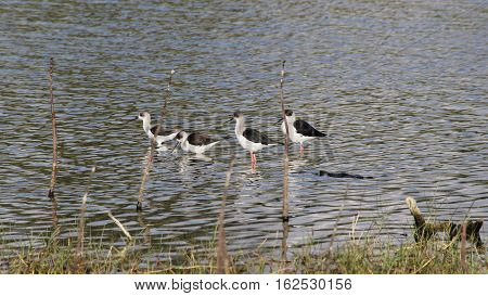 Bird Quartet stands motionless at the lakes edge