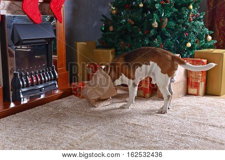 Cute Beagle Checks Christmas Gifts In Front Of The Fireplace In An Empty Room