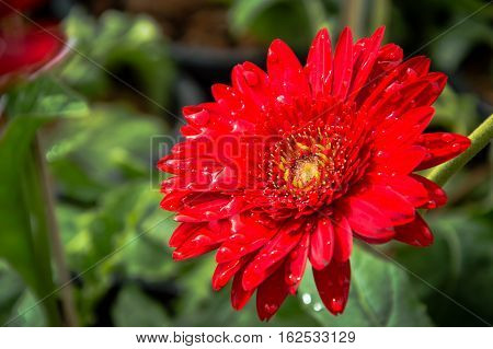 Flowers and red gerberas flowers background natureThe stunning natural beauty