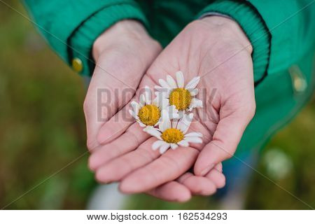 Chamomile in the hands of women on field