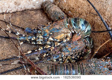 Live fresh lobsters at tropical fish market