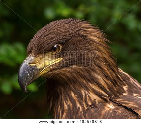 Portrait Of A Brown Golden Eagle On A Green Blurry Background