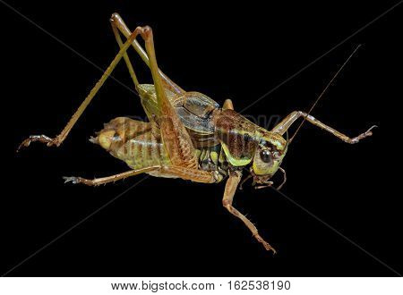 A close up of the grasshopper (Locust). Isolated on black.