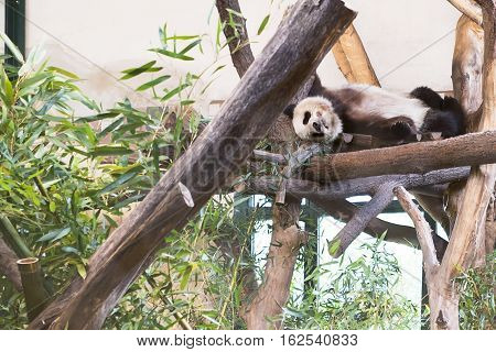 Photo of giant panda bear sleeping on trees