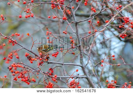 Chaffinch sitting on the branches of a Rowan tree and eats the berries