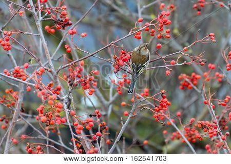 Chaffinch sitting on rowan branches tree .