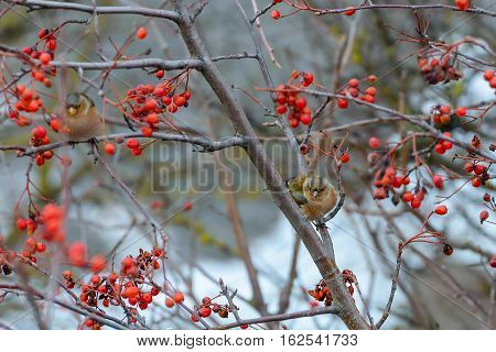 The Chaffinches sitting on rowan branches .