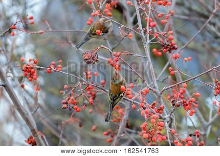 Chaffinches sitting on the branches of a Rowan tree and eats the berries