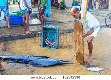 HIKKADUWA SRI LANKA - DECEMBER 5 2016: The large marlin on the floor of the fish market on December 5 in Hikkaduwa.