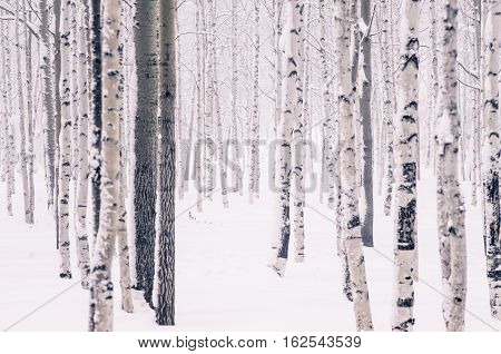 In the beautiful winter forest birch, aspen and other trees in the snow and frost
