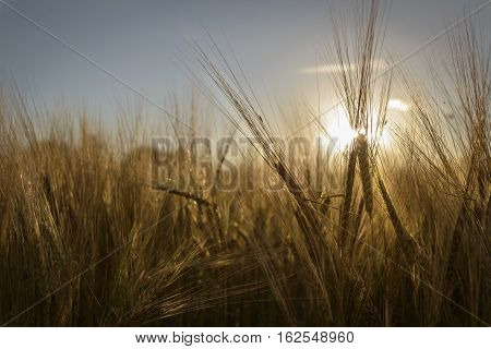 Golden grain standing in field lit by the sun during sunset golden hour