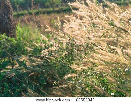 Desho grass Pennisetum pedicellatum flower summer plant