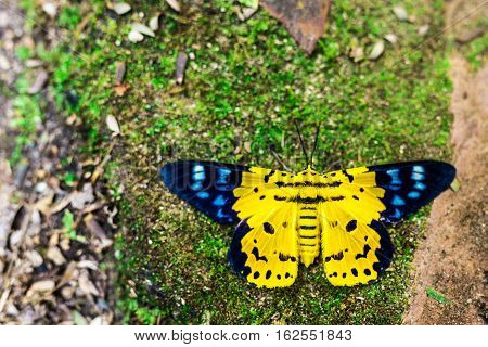 Dysphania Militaris, A Butterfly From East  Asia