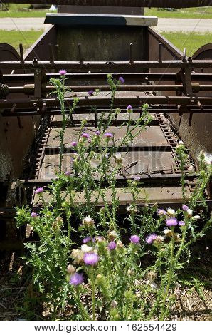Volunteer blooming thistles are growing around an old vintage wooden manure spreader.