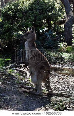 Closeup of Eastern Grey Kangaroo (Macropus giganteus) on Pebbly beach NSW Australia