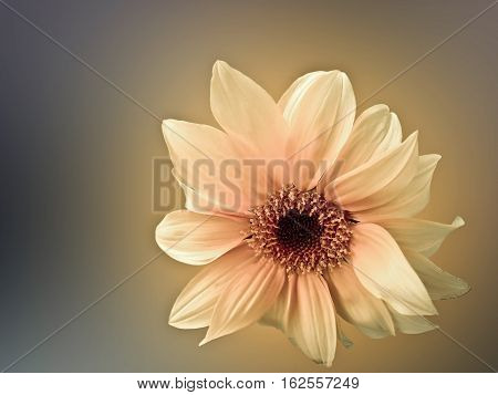 Yellow flower isolated on white &  with blurred back ground.