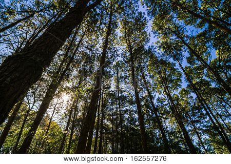 Pine Larch Forest With Sunlight Blue Sky