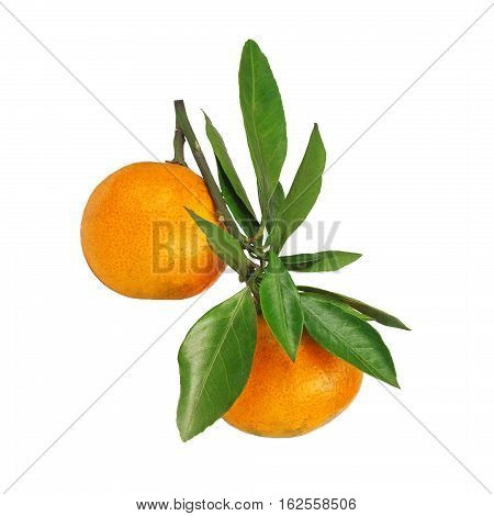 Two Mandarins Hanging On The Branch With Leaves