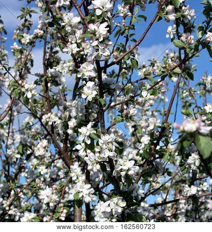 Apple Blossoms In Early Morning.