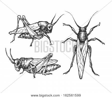Hand Drawn Set Of Grasshoppers And Locust In Different Poses.