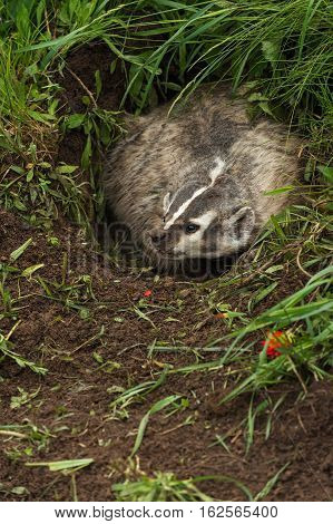 North American Badger (Taxidea taxus) Turns in Den - captive animal