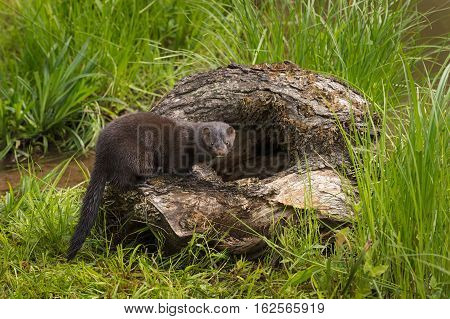 Adult American Mink (Neovison vison) Stands on Edge of Log - captive animal