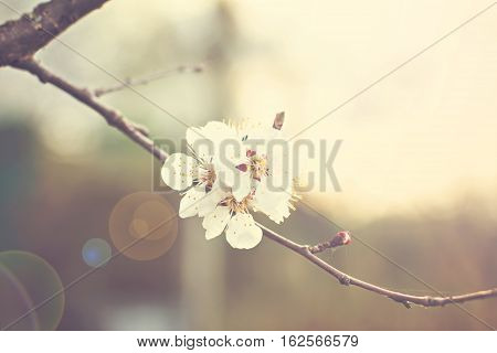 Apricot tree flowers. Spring white flowers on a tree branch. Apricot tree in bloom. Spring seasons time of year. White flowers of apricot tree