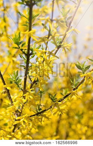 Blooming Forsythia Spring background with yellow flowers tree branches