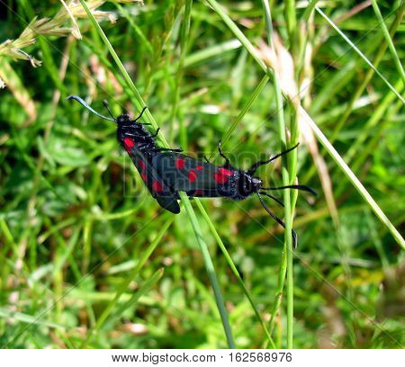 Two Six-Spot Burnet Moths Pictured While Mating