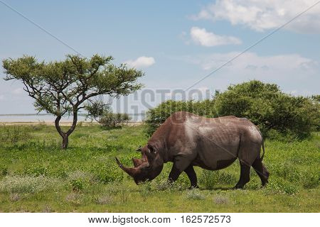 Rhinoceros Walks, Eating And Grazing On A Sunny Day In The Bushes Of The Park Etosha.