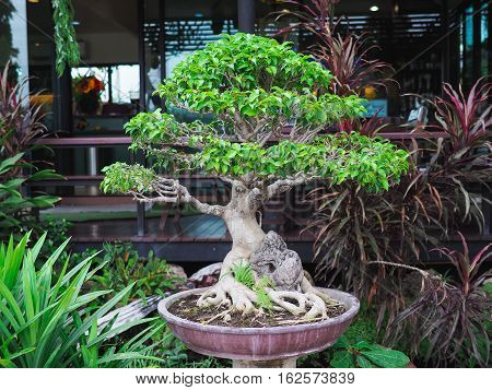 The beautiful bonsai tree on the clay pot.