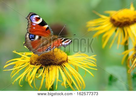 Butterfly Feeding Over Flower. Macro Closeup With Red Butterfly On A Yellow Flower In The Garden..