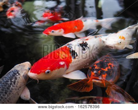 The beautiful koi fish in pond in the garden.