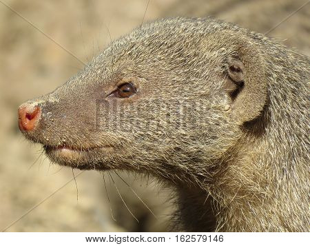 Portrait of a mongoose on nature background