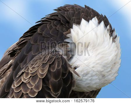 Portrait of the American Bald eagle preening