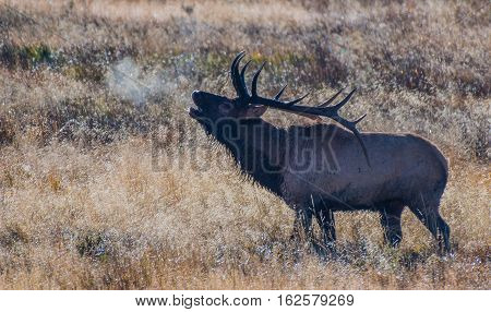 Bull Elk Bugling on a Cold Fall Morning