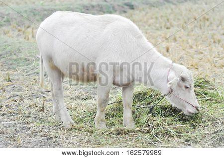 albino buffalo or buffalo in the field