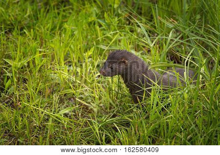Adult American Mink (Neovison vison) Stands in Grass - captive animal