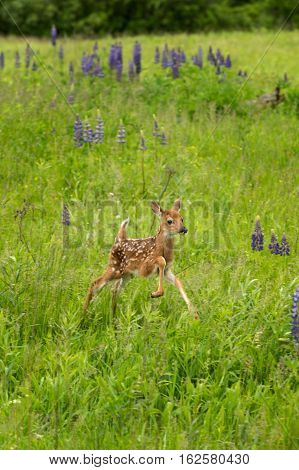 White-Tailed Deer Fawn (Odocoileus virginianus) Jumps Right - captive animal