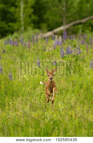 White-Tailed Deer Fawn (Odocoileus virginianus) Bounds Through Grasses - captive animal