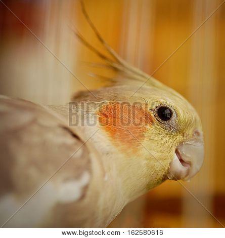 Yellow female Cockatiel bird eyes close up