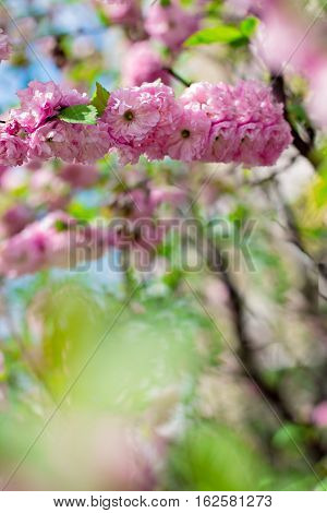 sakura tree flowers. Spring pink flowers on a tree branch. sakura tree in bloom. Spring seasons time of year. Spring sakura blossoms