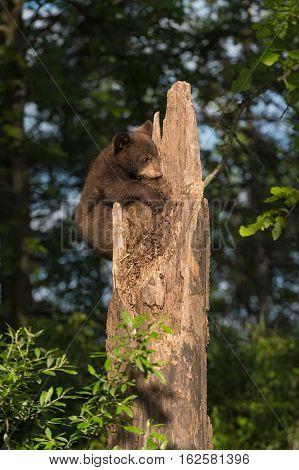 Black Bear Cub (Ursus americanus) Holds on to Tree - captive animal