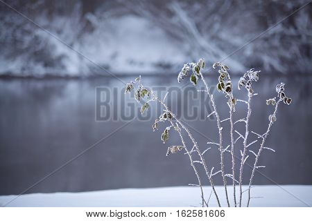Frozen Grass Close Up On A Riverbank. Winter Misty Cloudy Snowy Weather.