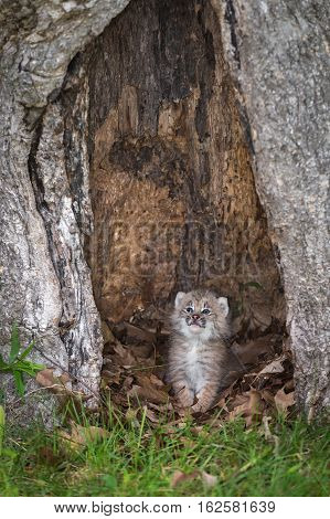 Canada Lynx (Lynx canadensis) Kitten Looks Out from Hollow Tree - captive animal
