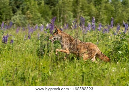 Coyote (Canis latrans) Leaps Left - captive animal