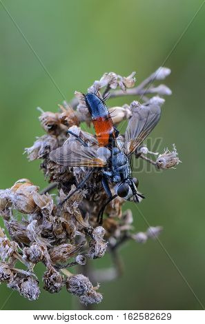 Tachina Fly With Orange Belly